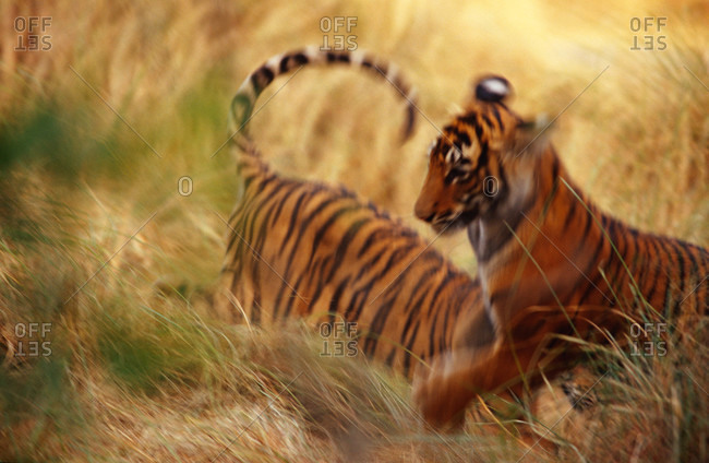 Endangered Bengal Tiger cubs play wrestling in the tall, dry grass