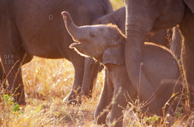 A tiny endangered Asian Elephant calf scenting the air with its trunk