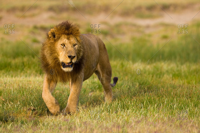 A male African lion looks off into the distance