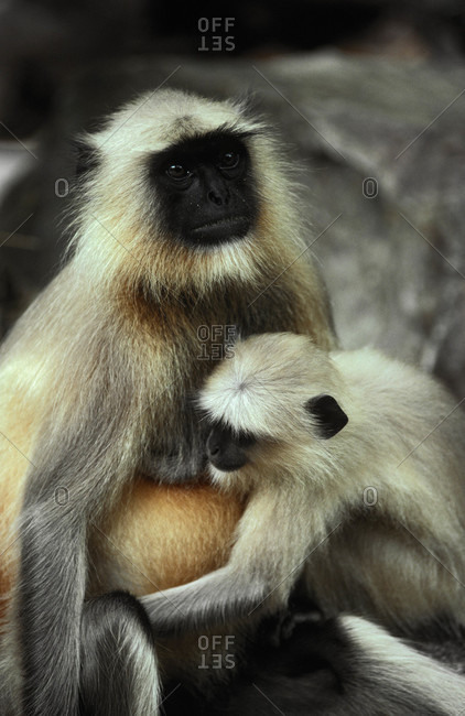 A Common Langur also known as a Hanuman Monkey suckles her infant