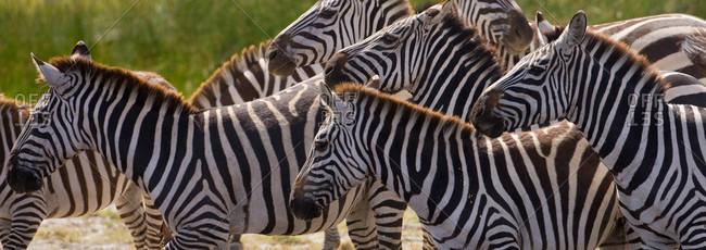 Burchells zebras make their way through the Serengeti plains