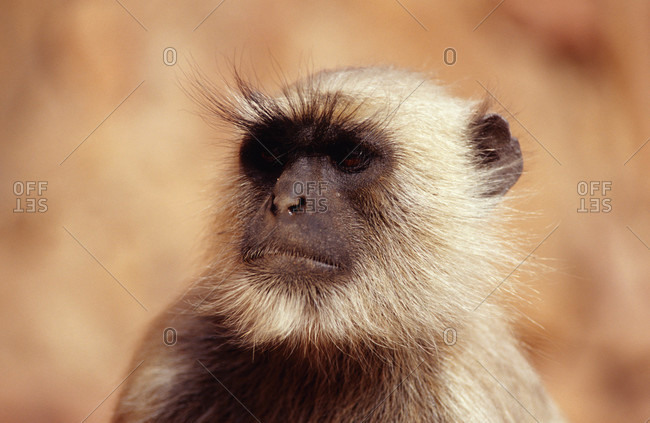 The bushy eyebrows of an Hanuman Monkey, also called a Common Langur
