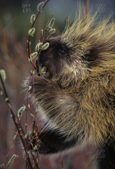 Porcupine feeding on pussy willows in spring