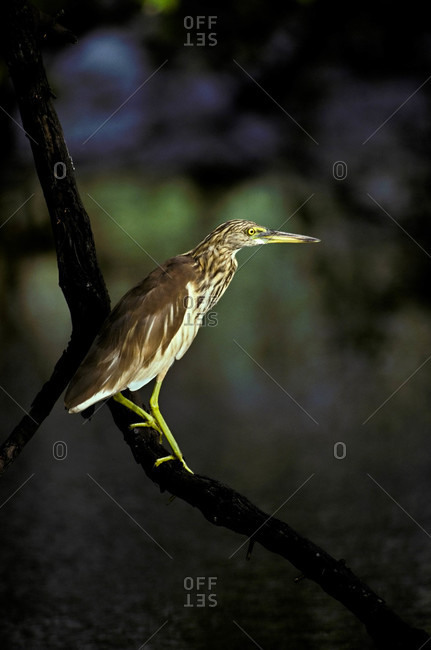 An immature Black-crowned Night Heron perched on a vine over a wetland