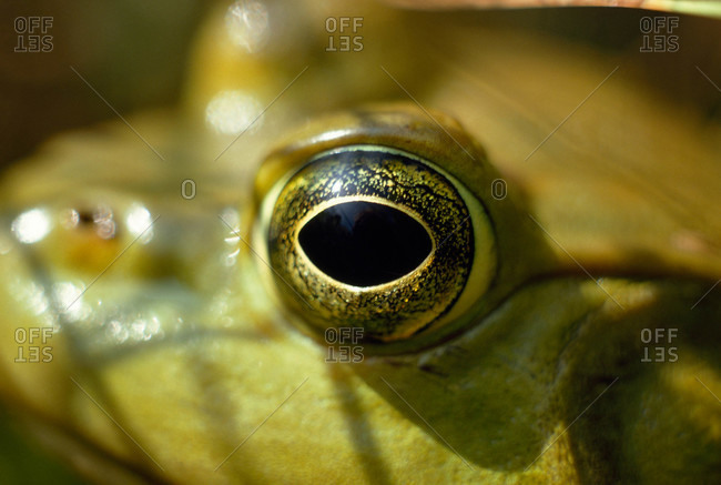 Close-view of a frog's eye