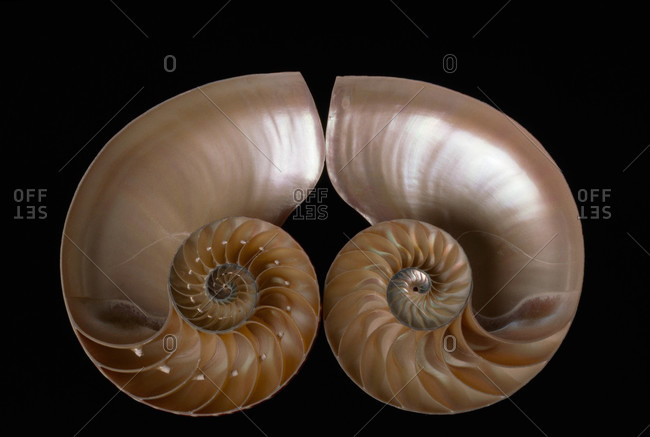 A nautilus shell cut in half to reveal compartments