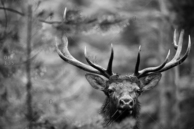 A bull elk investigates it's surroundings in Grand Teton National Park