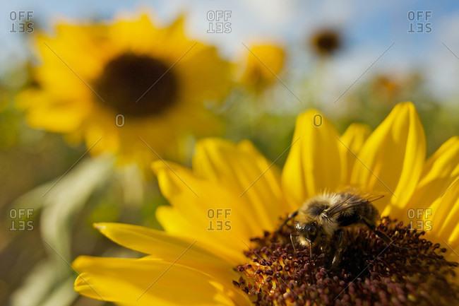 A Honey Bee visiting a sunflower