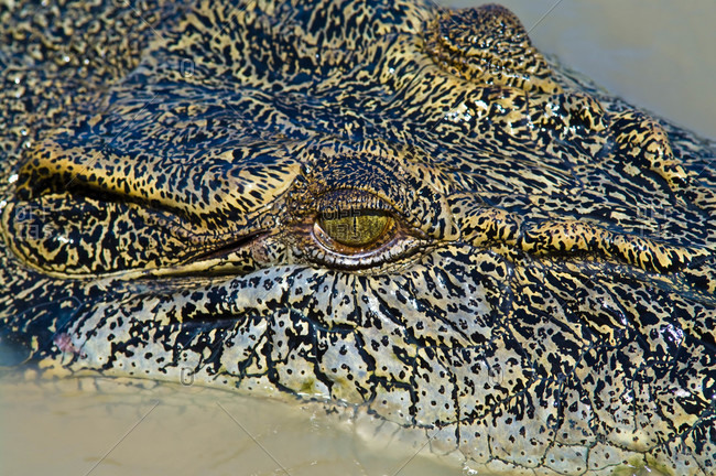 The prehistoric scaled head and menacing eye of a Saltwater Crocodile