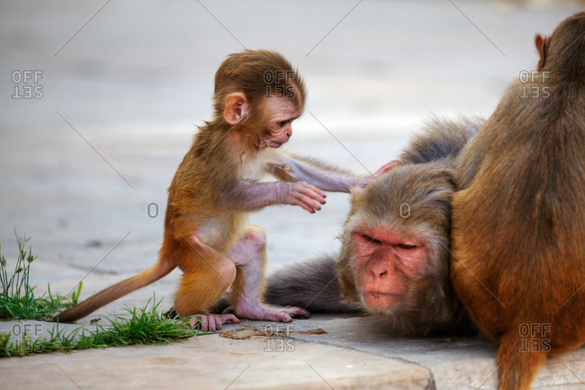 Rhesus monkey infant (Macaca mulatta) shows concern for its mother