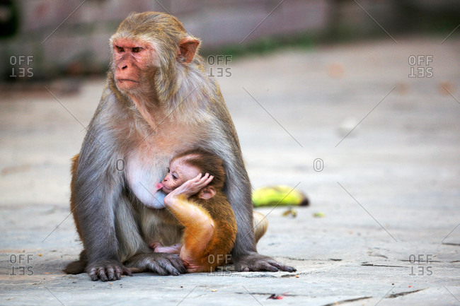 Rhesus monkey (Macaca mulatta) with infant, Kathmandu
