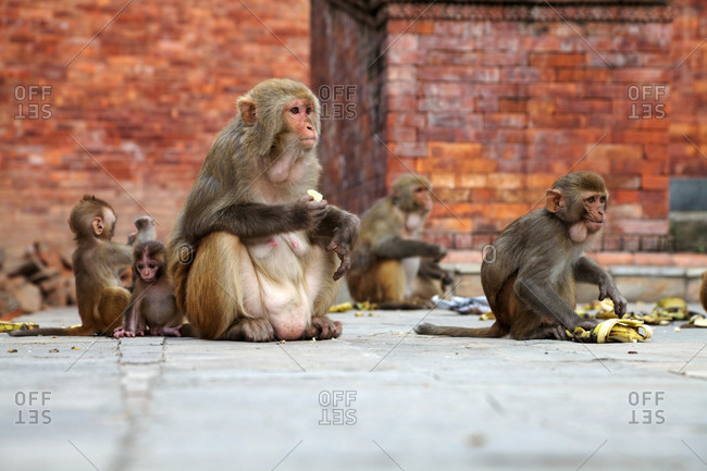 Old World monkeys or Rhesus monkeys (Macaca mulatta)