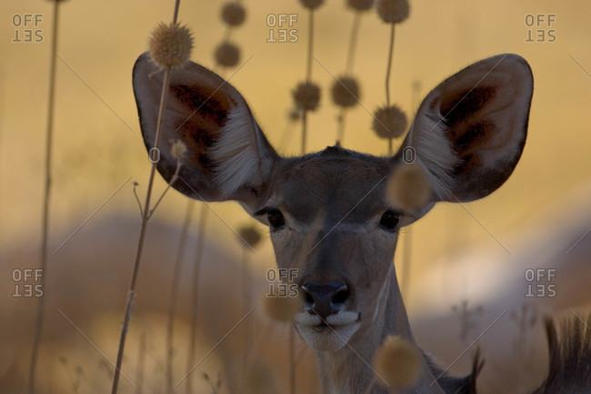 A female antelope makes eye contact with the camera