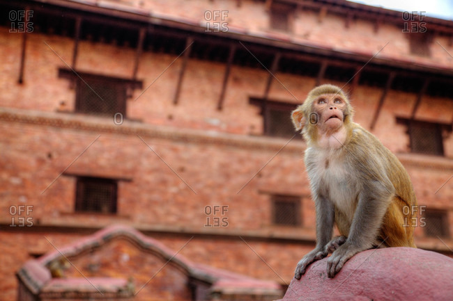 Old World or Rhesus monkey (Macaca mulatta) looks skyward