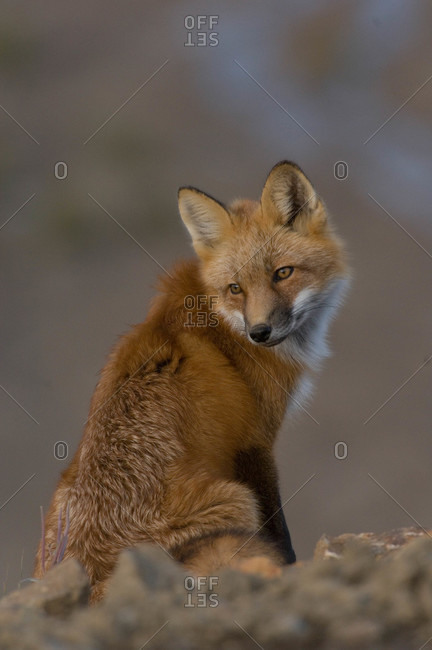 red fox  Vulpes vulpesadult in Alaska