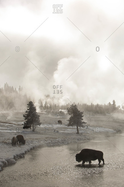A bison crosses the Firehole River in Yellowstone National Park