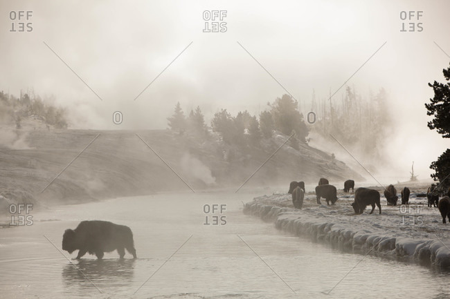 A bison crosses the Fire Hole River in Yellowstone National Park