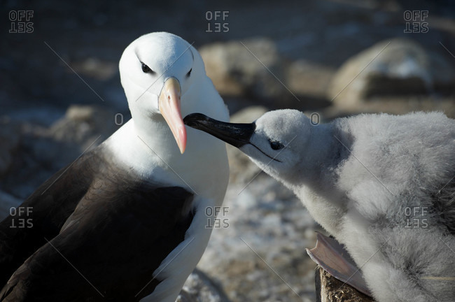 Black-browed Albatross chick and a parent being fed on a nest (Thalassarche melanophrys) is a large seabird of the albatross family