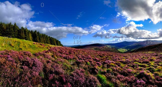 Wild Heather on the Wicklow Hills, Ireland