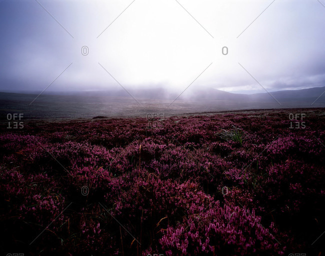 Wild heather lies below a rain storm on the Wicklow Mountains, Ireland