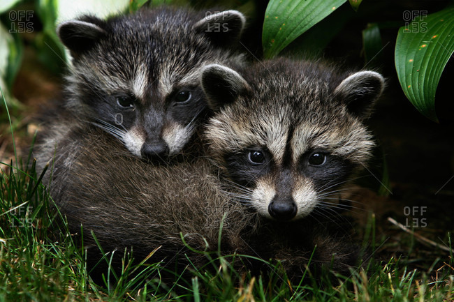 A pair of raccoons under a porch