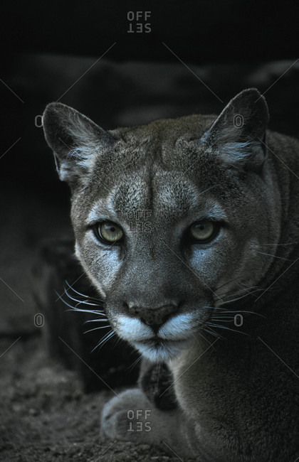 The beautiful intense eyes of a female Puma or Mountain Lion