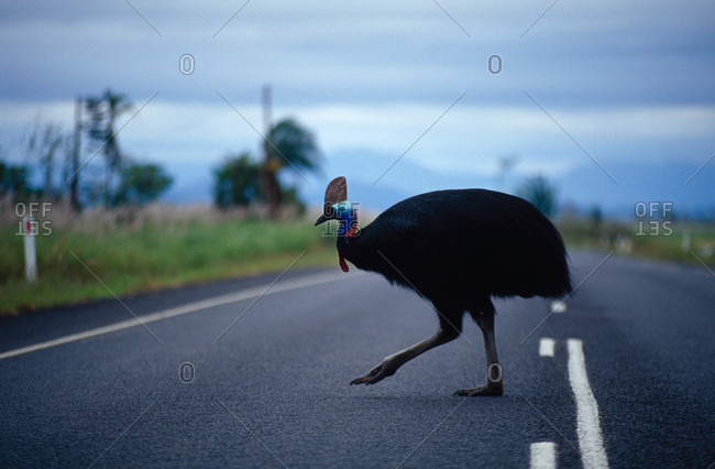 An endangered Cassowary straying dangerously onto a road