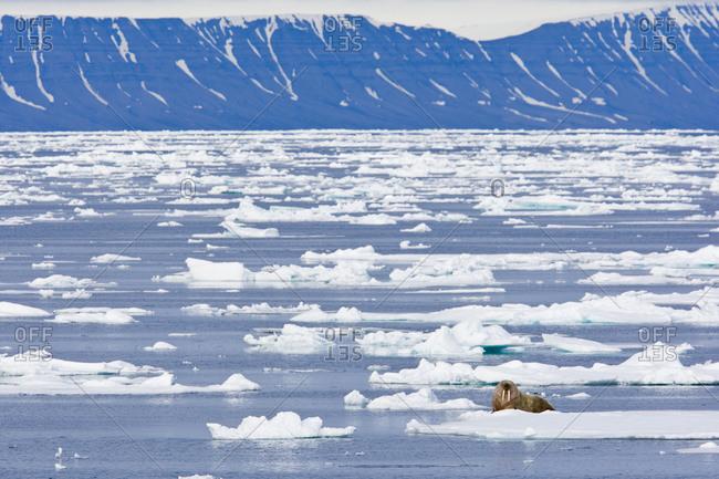 A walrus in an arctic landscape
