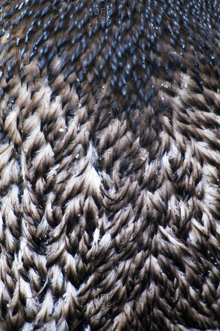 Closeup detail of moulting feathers on the back of an Adelie Penguin