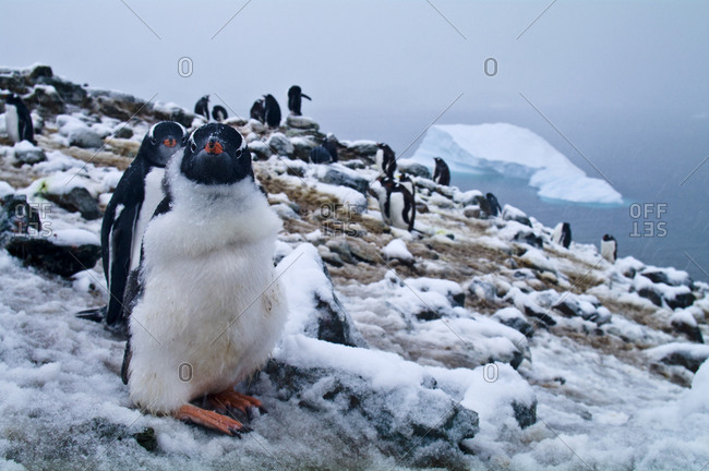 A rookery of Gentoo Penguin chicks nesting on a snowy mountaintop