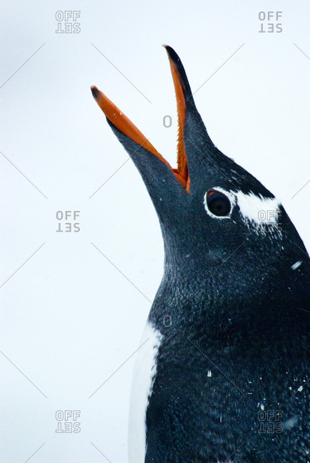A Gentoo Penguin throws back its head and calls loudly with it's beak