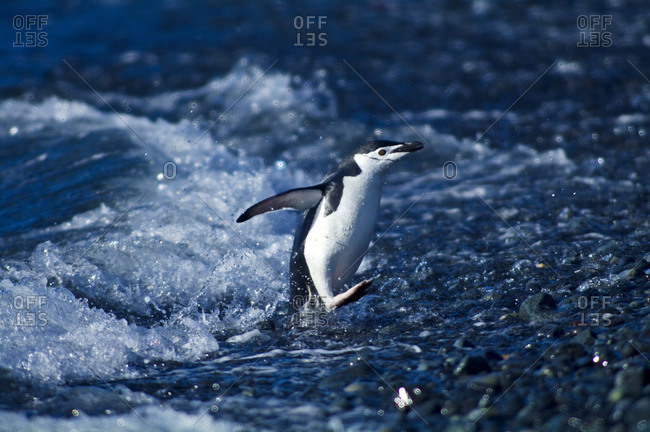 To avoid predators Chinstrap Penguins run from the surf onto a beach