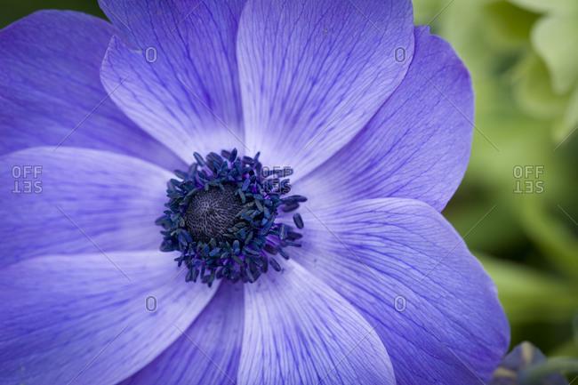 Poppy anemone (Anemone coronari) detail