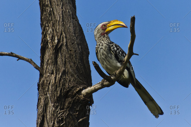 Southern yellow-billed hornbill perched on a bare tree branch