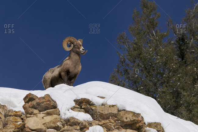 A big horn ram stands firm on top of a cliff