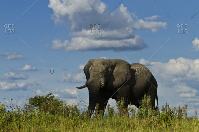 African elephant walking on the plains