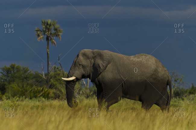 Side view of an African elephant and palm tree