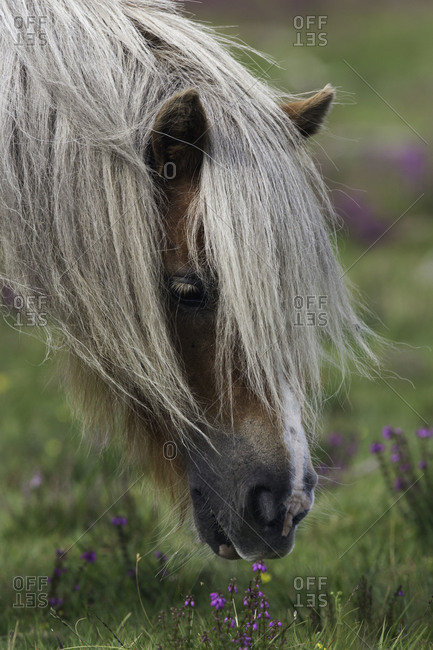Side view of a grazing Dartmoor Pony