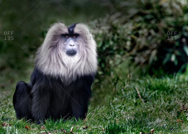 Lion-tailed macaque male sitting in the grass