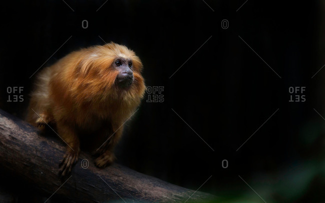 Golden-headed lion tamarin sitting on a branch