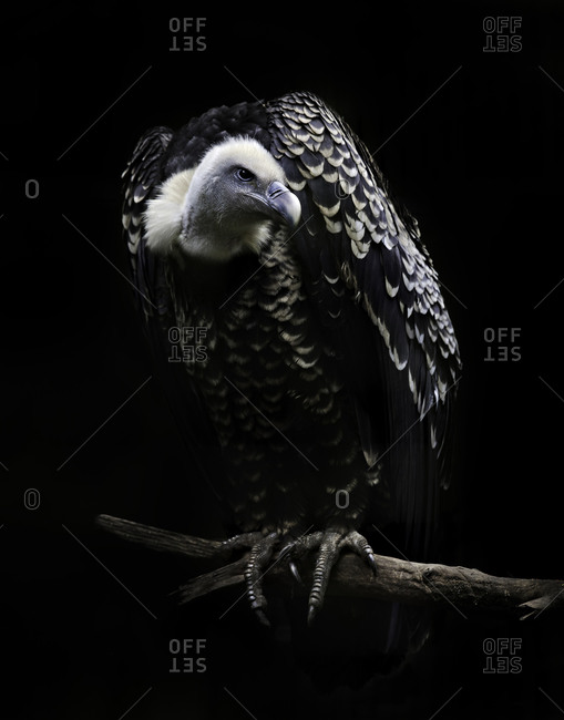 Ruppell's Griffon Vulture sitting on a branch