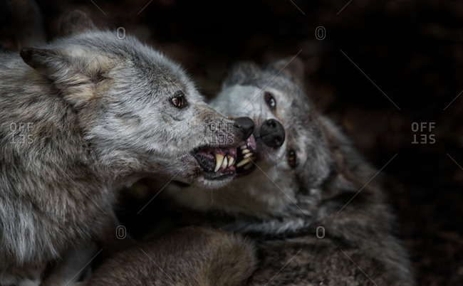 Close-up of snarling wolves