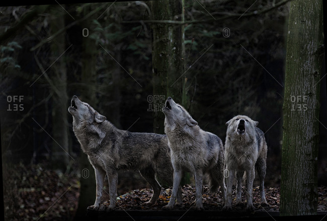 Howling wolf pack among trees
