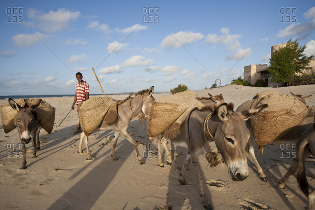 Shepard with group of donkey