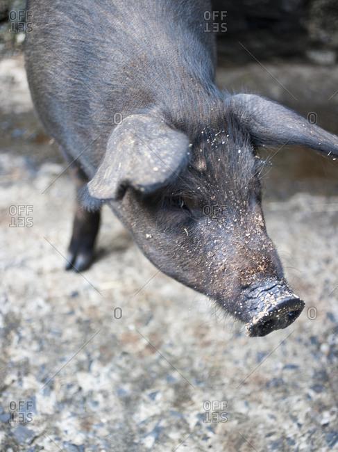 Close-up view of a black pig