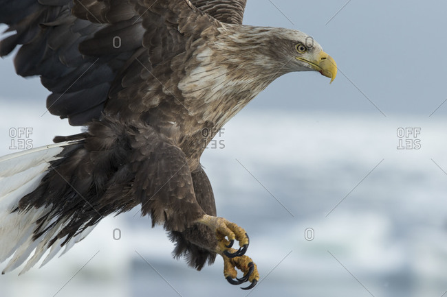 A white tailed eagle in flight