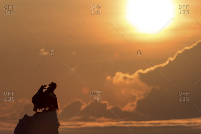 Silhouettes of two eagles fighting during sunrise