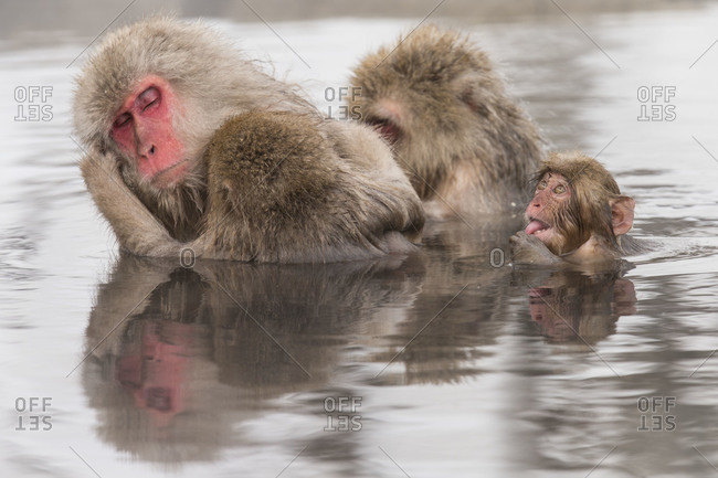 Japanese macaque family taking hot spa at Nagano Prefecture, Japan