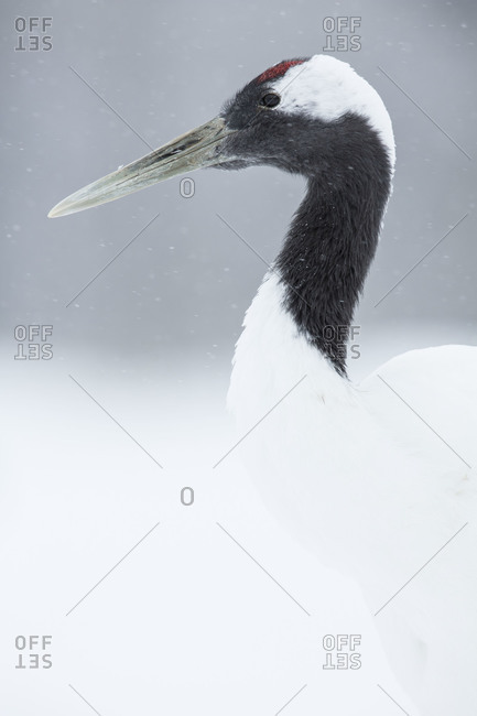 A red crowned crane stands in the snow