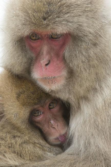 A mother snow monkey nurses her baby